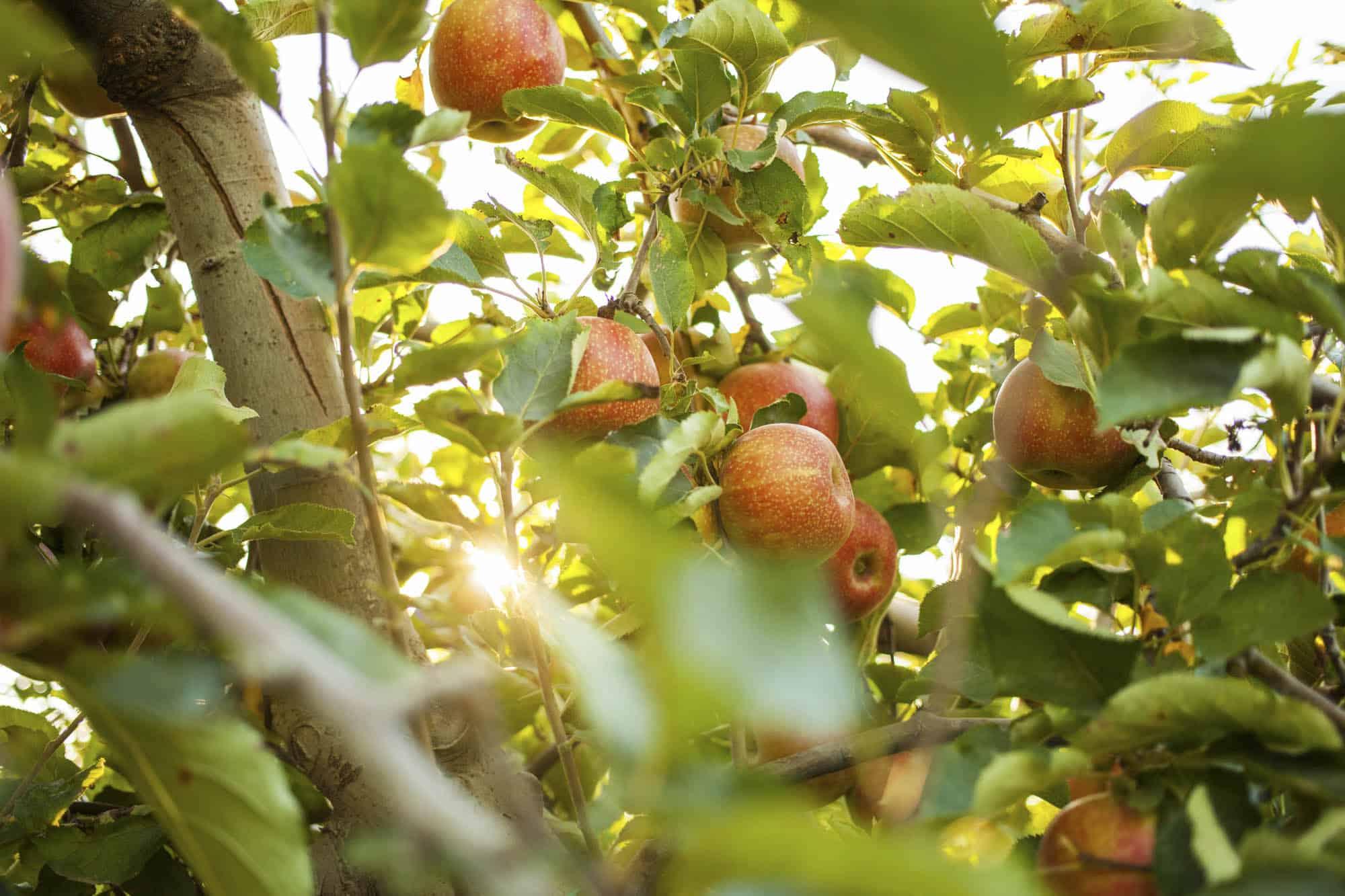 camp pomes Anela